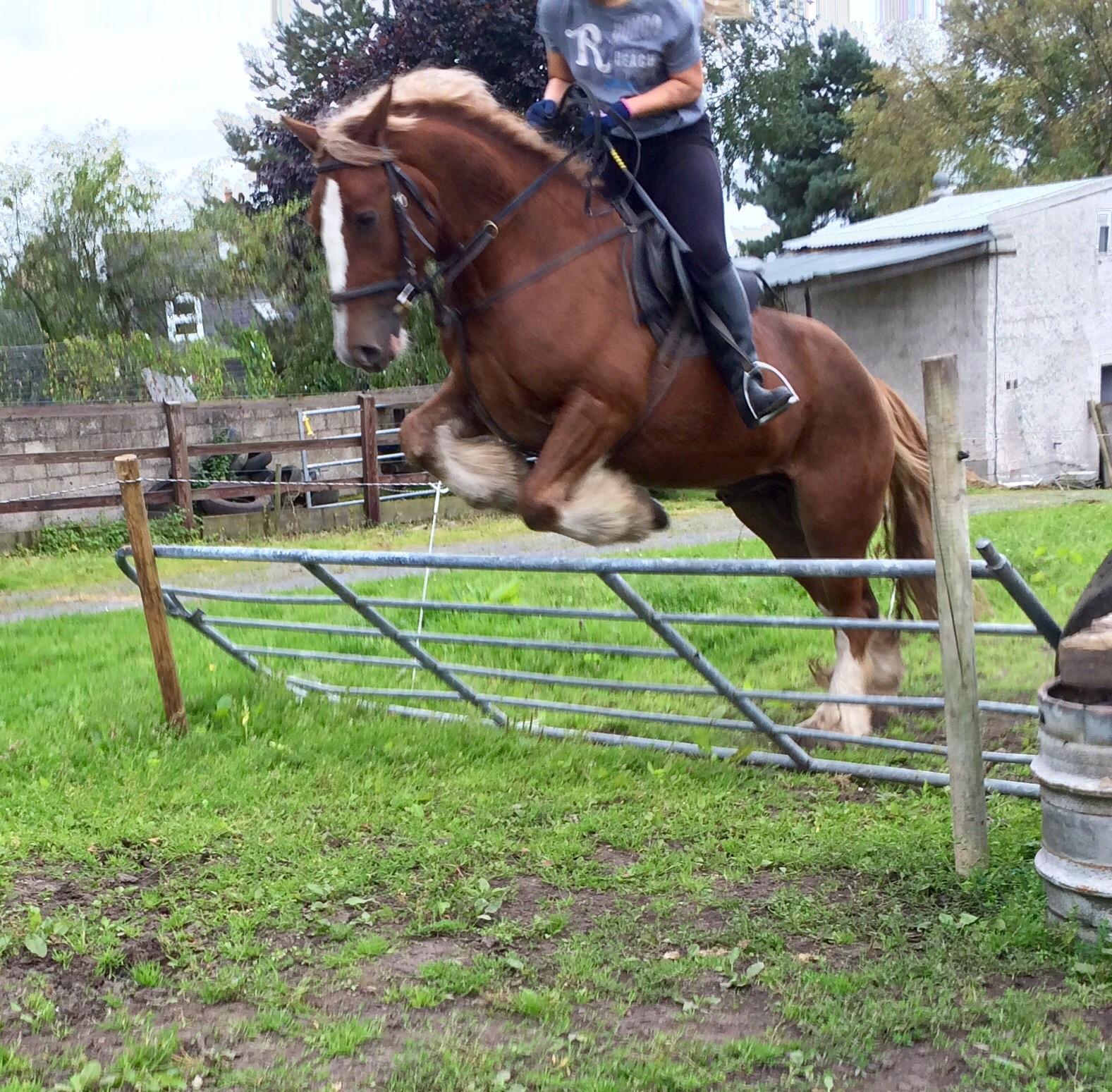Sold To Uk Bombproof Cob For Sale Nagero Irish Sport Horses