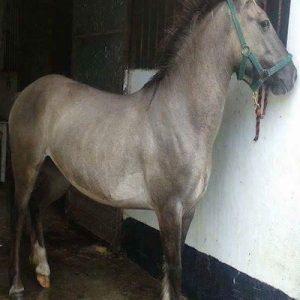 128cm Potential international jumping pony
