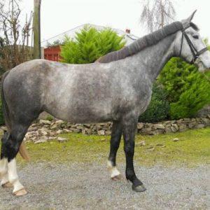 Fabulous Irish Sport Horse 3yr Old Mare