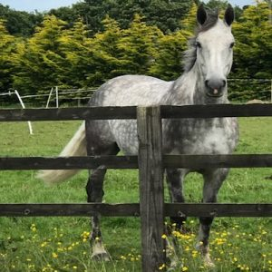 Fabulous 3/4 draught 7yr Old 16.1hh
