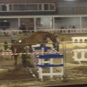 Irish Sport Horse 3yr old filly