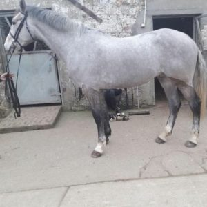 Full brother to Shanagore Jenga 4yr Old