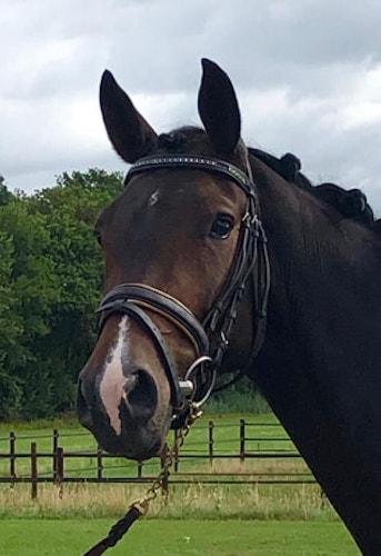 Irish Sport Horses For Sale