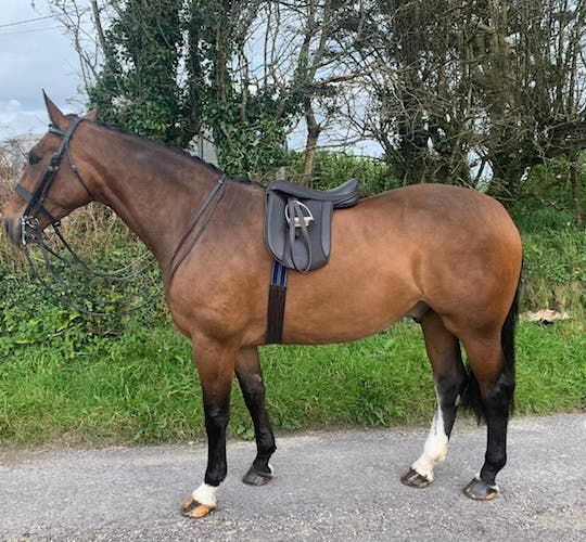 17hh 4yr Old Middleweight Show Horse €20,000.00