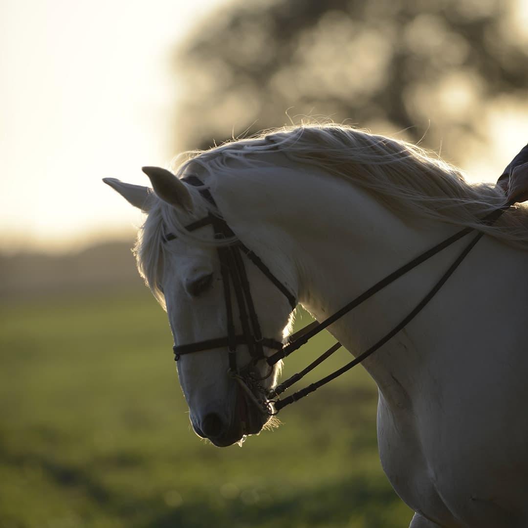 Olgazan Spanish PRE Stallion 8