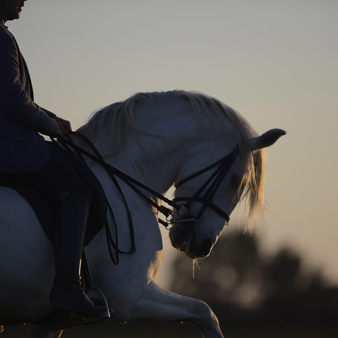 Olgazan Spanish PRE Stallion 11