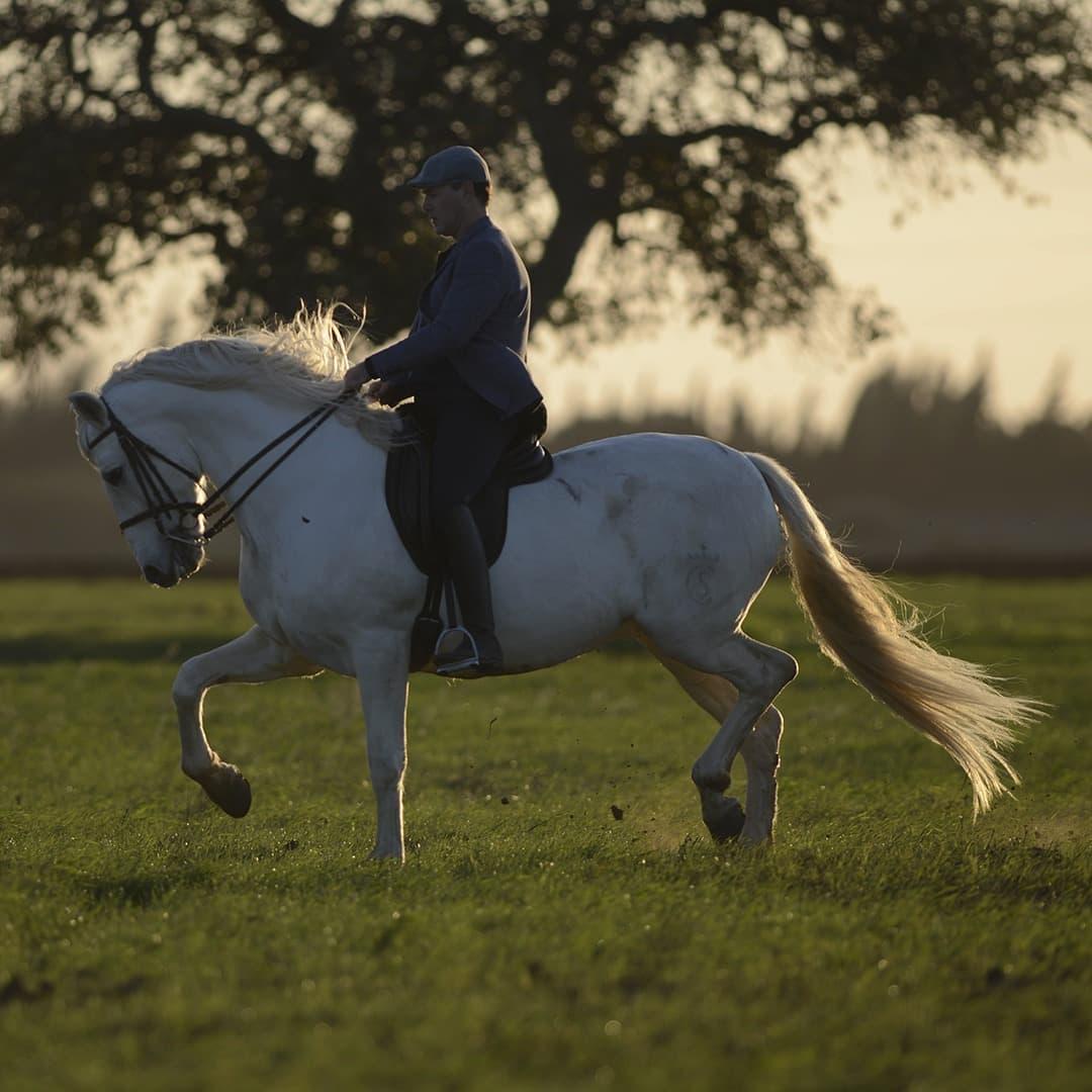 Olgazan Spanish PRE Stallion 1