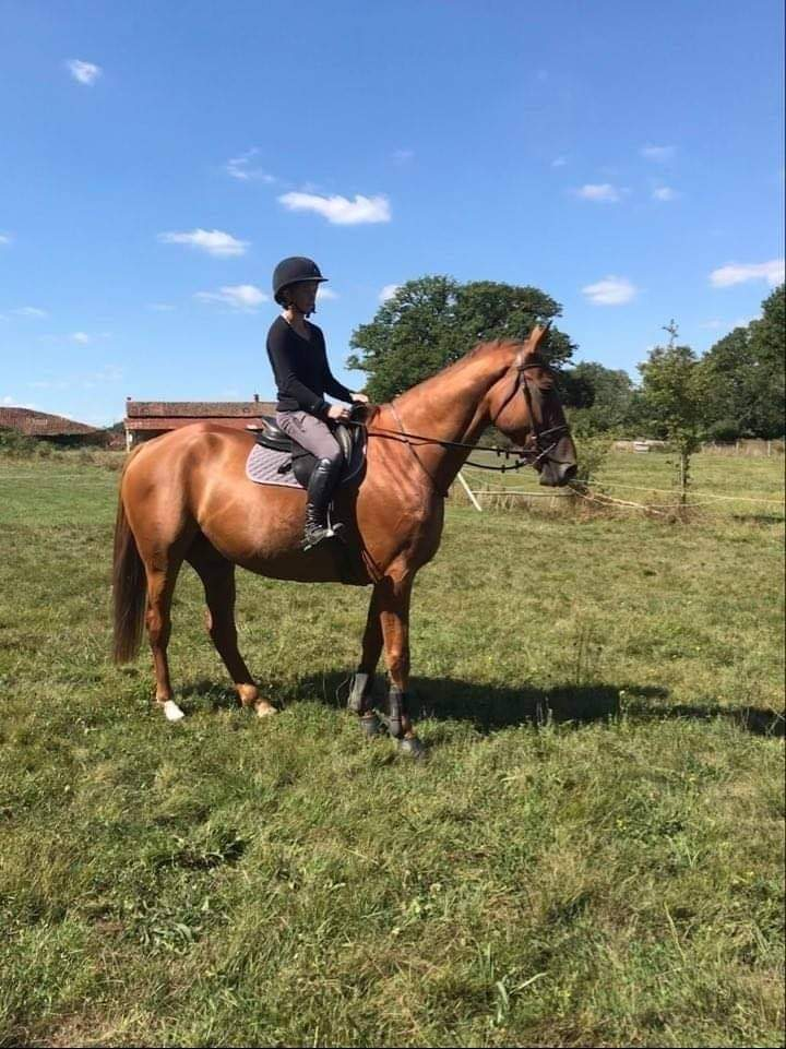 Superb 16.3hh ISH 7 year old 4