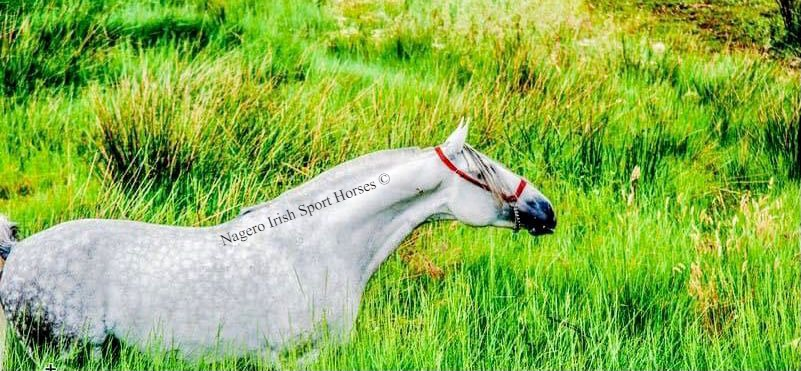 Approved ridden PRE Stallion 2