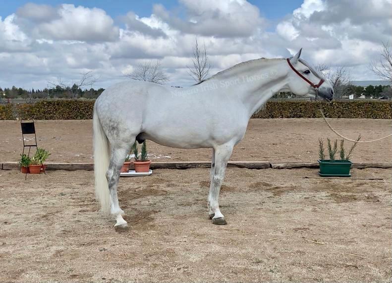 Approved ridden PRE Stallion 4