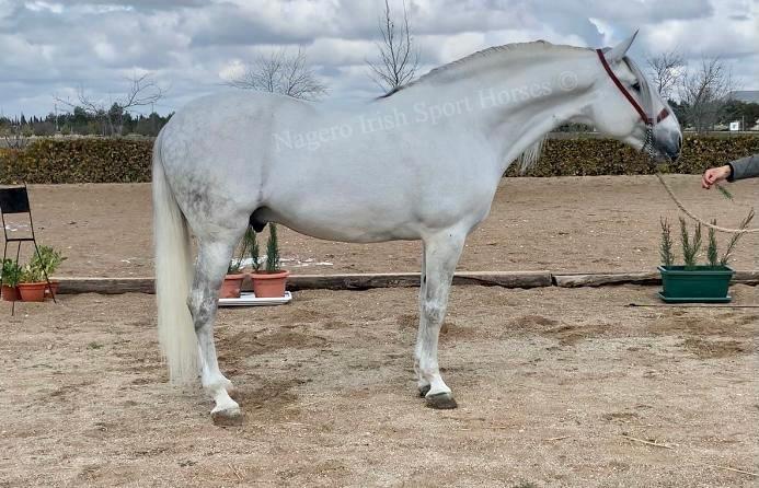 Approved ridden PRE Stallion 6