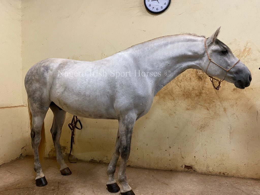 Beautiful PRE Gelding