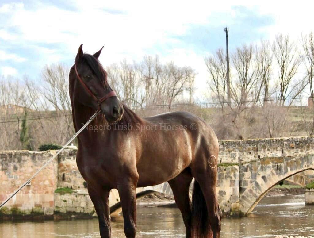 Fabulous 5 year old Spanish PRE Stallion 4