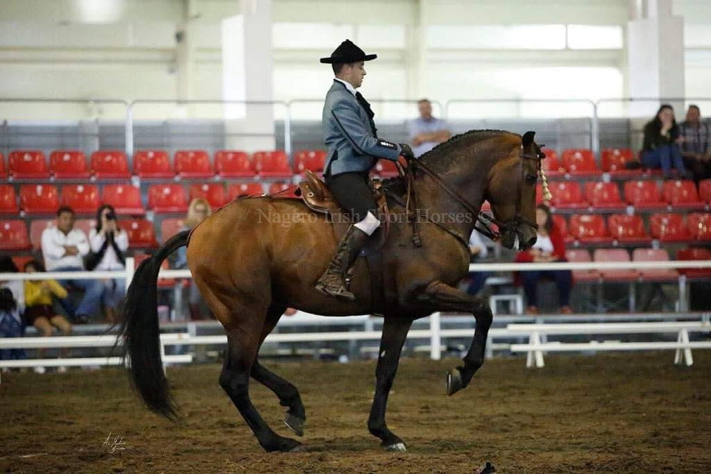 Stunning 6 year old GP Dressage Spanish Gelding 1