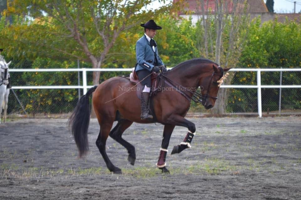 Stunning 6 year old GP Dressage Spanish Gelding 3