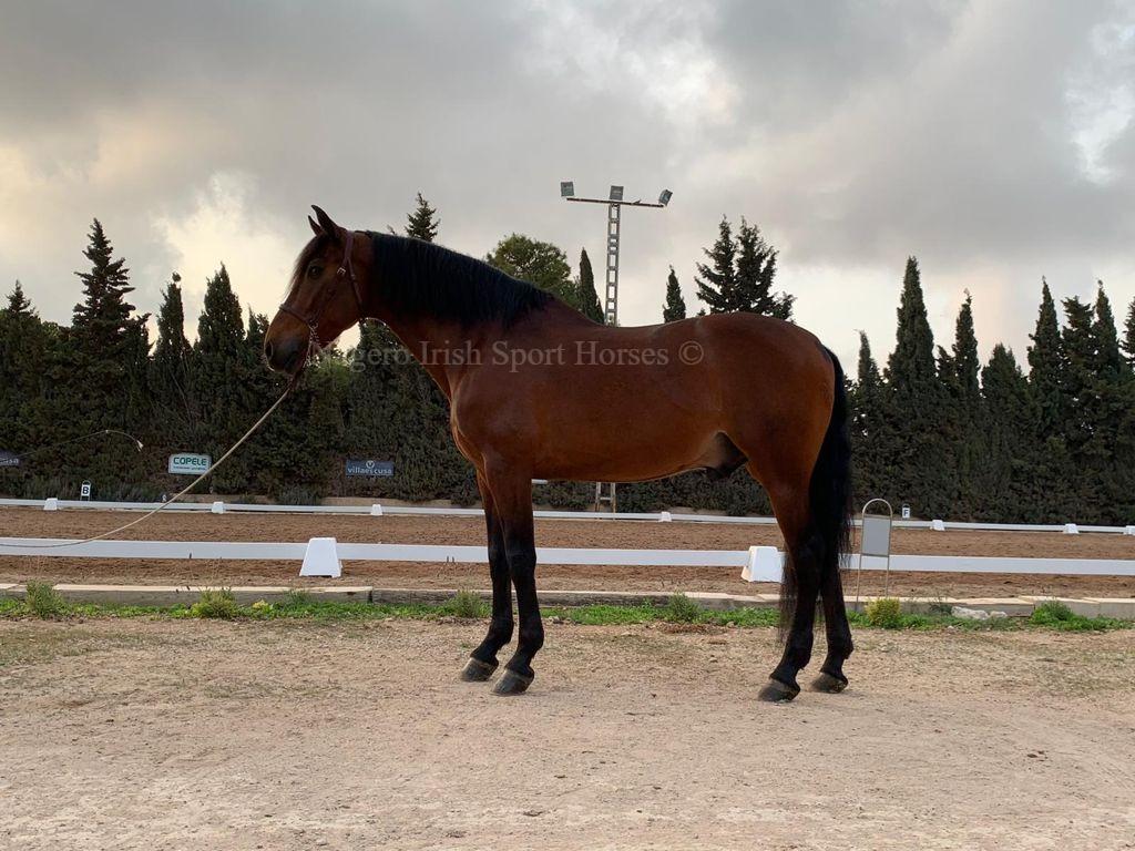 Stunning 6 year old GP Dressage Spanish Gelding 4