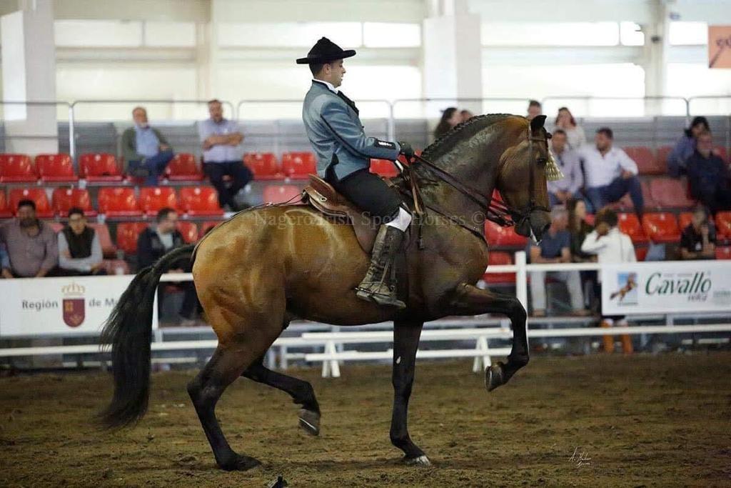 Stunning 6 year old GP Dressage Spanish Gelding 5