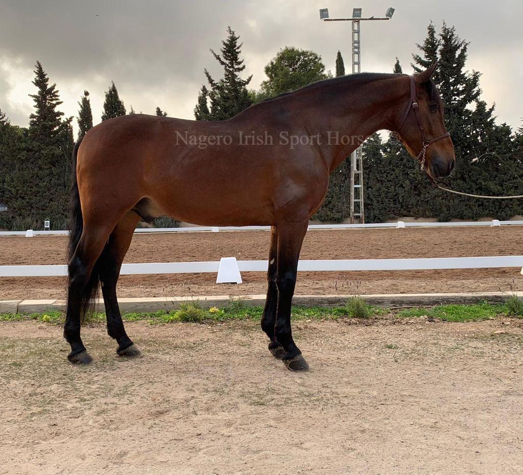 Stunning 6 year old GP Dressage Spanish Gelding
