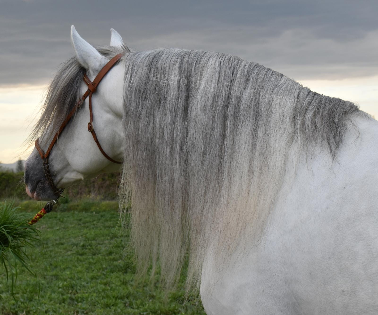 Stunning PRE with looks and temperament 13