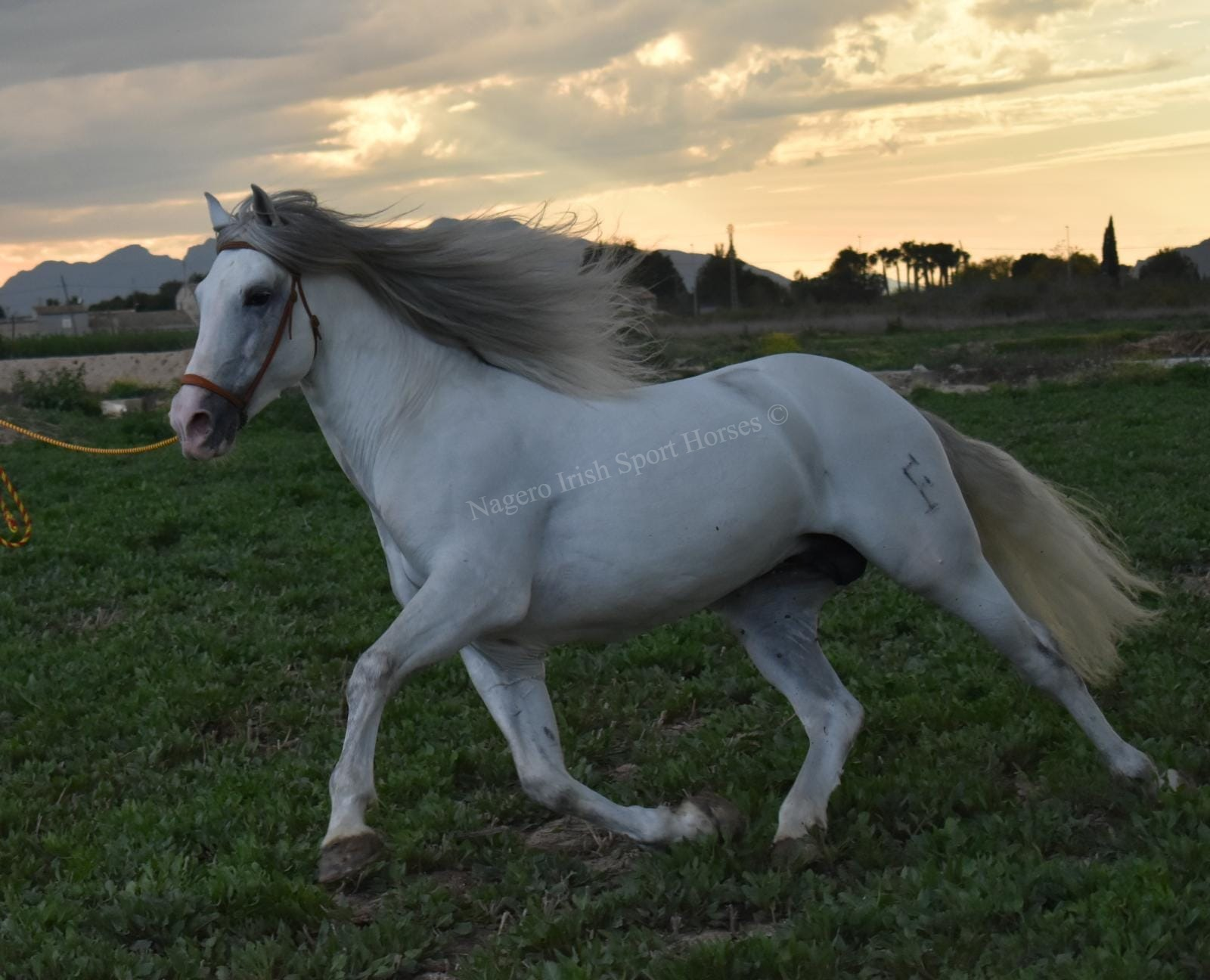 Stunning PRE with looks and temperament 15