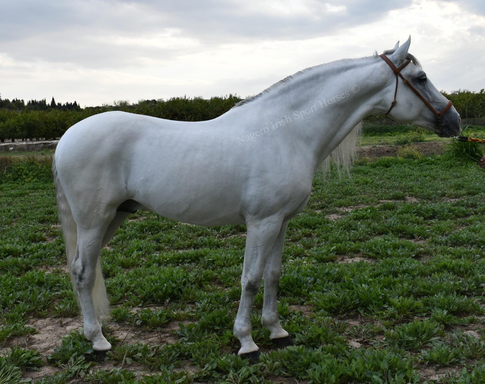 Stunning PRE with looks and temperament 18