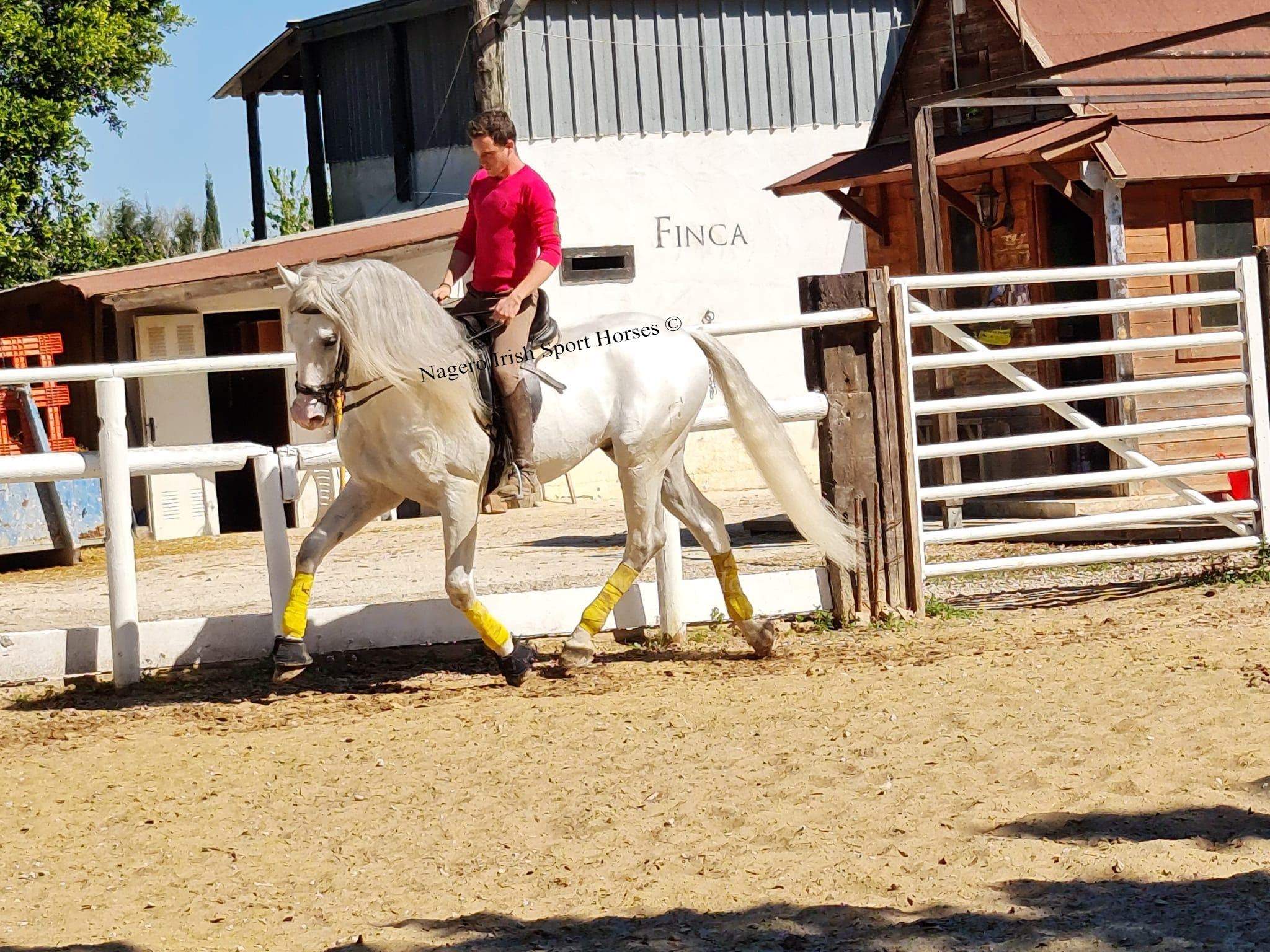 Stunning PRE with looks and temperament 3