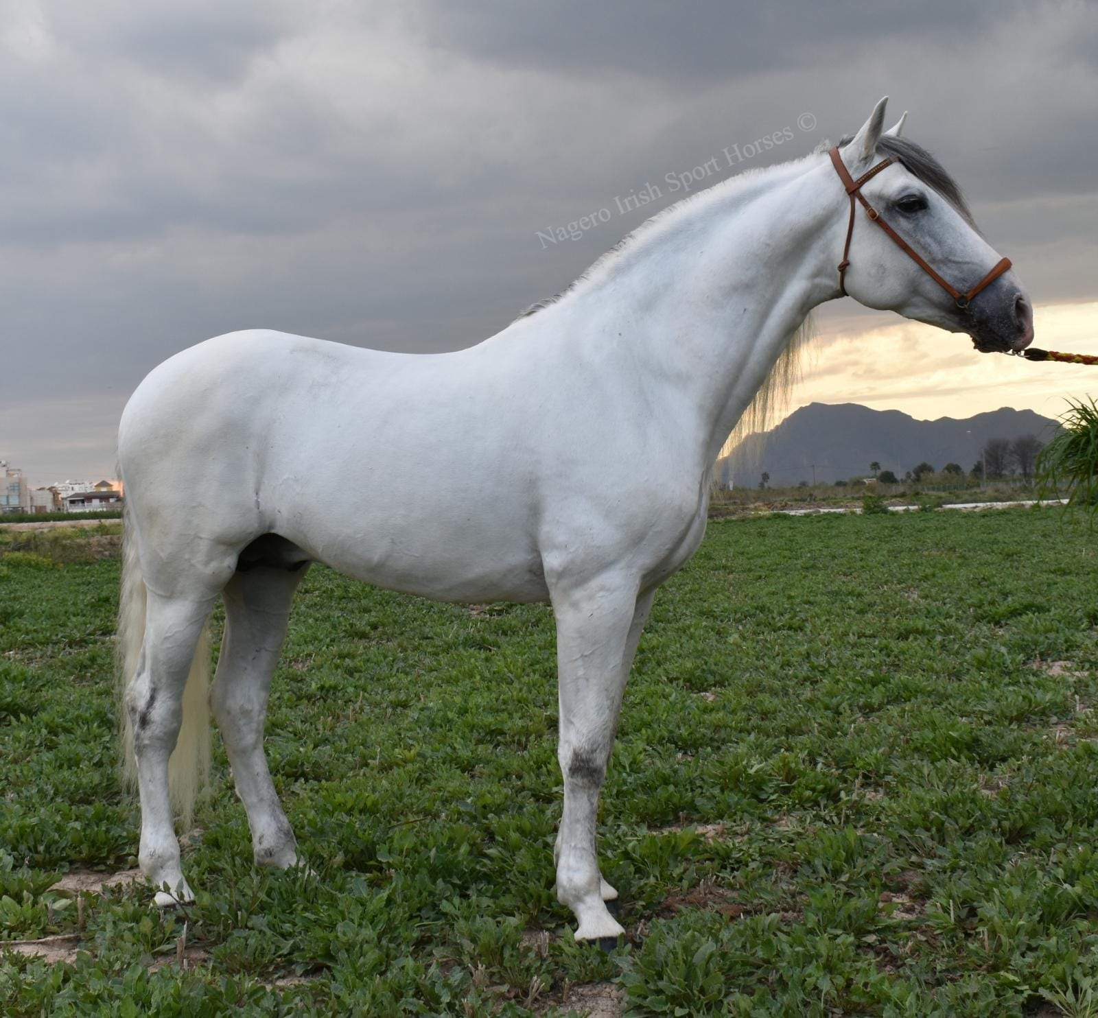 Stunning PRE with looks and temperament 5