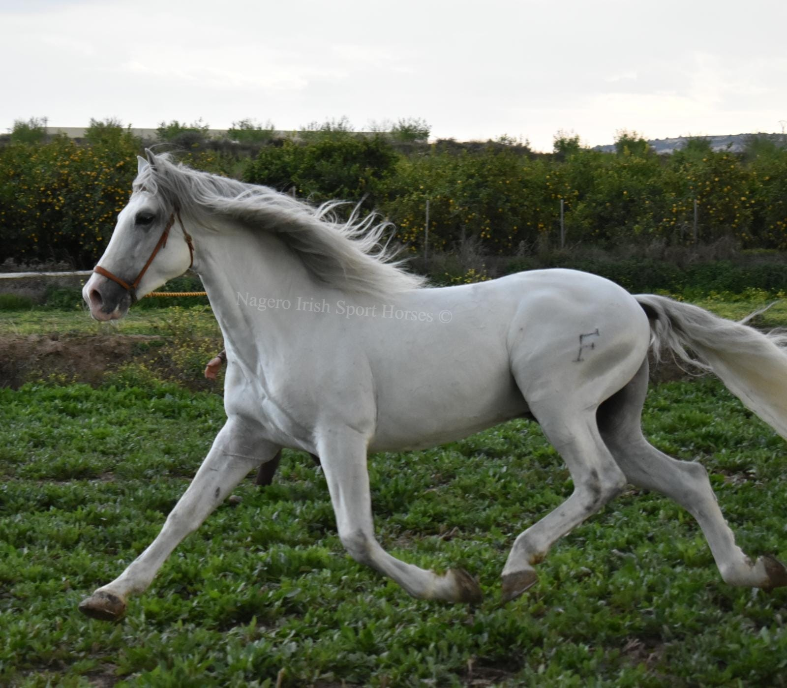 Stunning PRE with looks and temperament 6