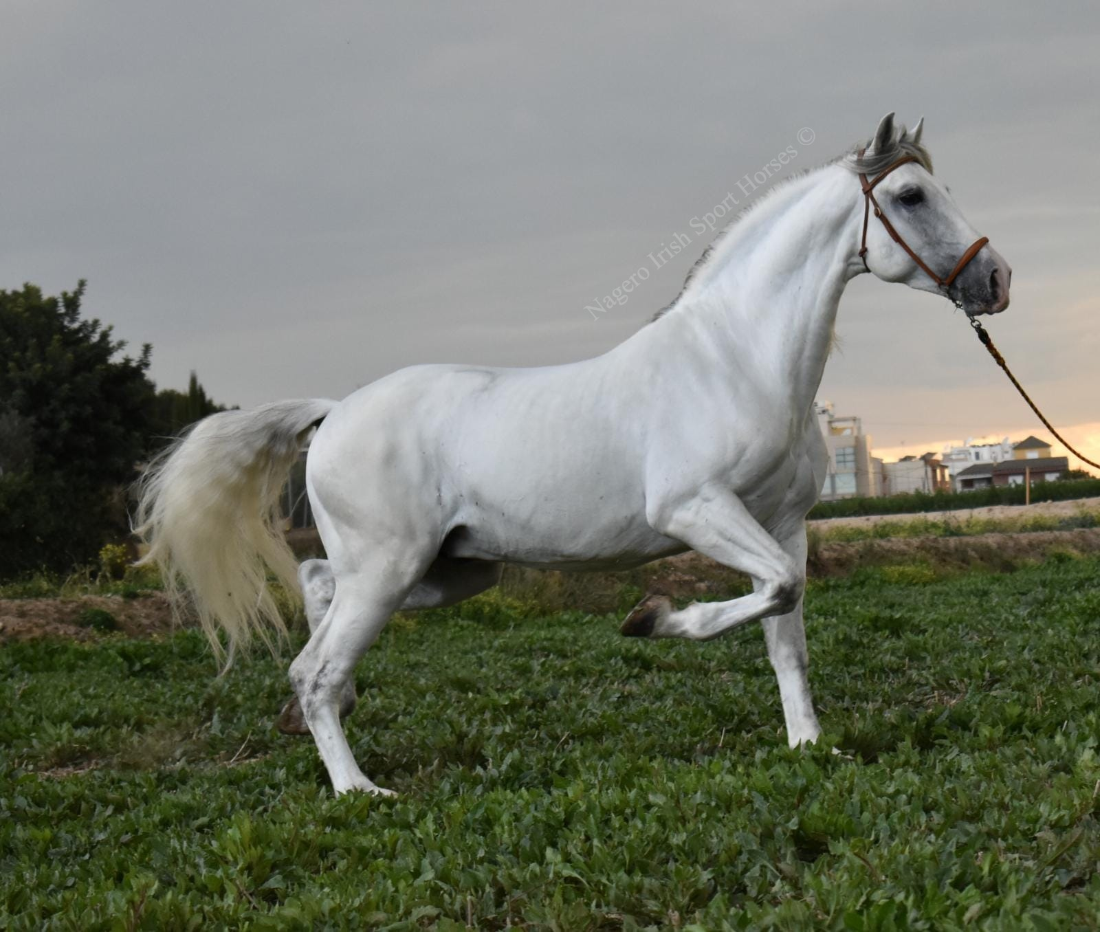 Stunning PRE with looks and temperament 7