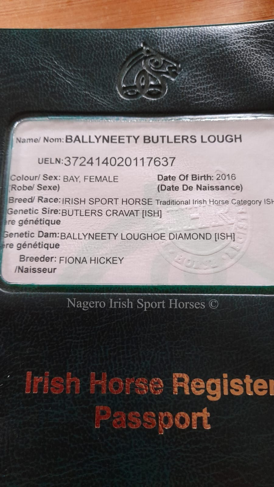 15.2hh 5 year old Mare 1