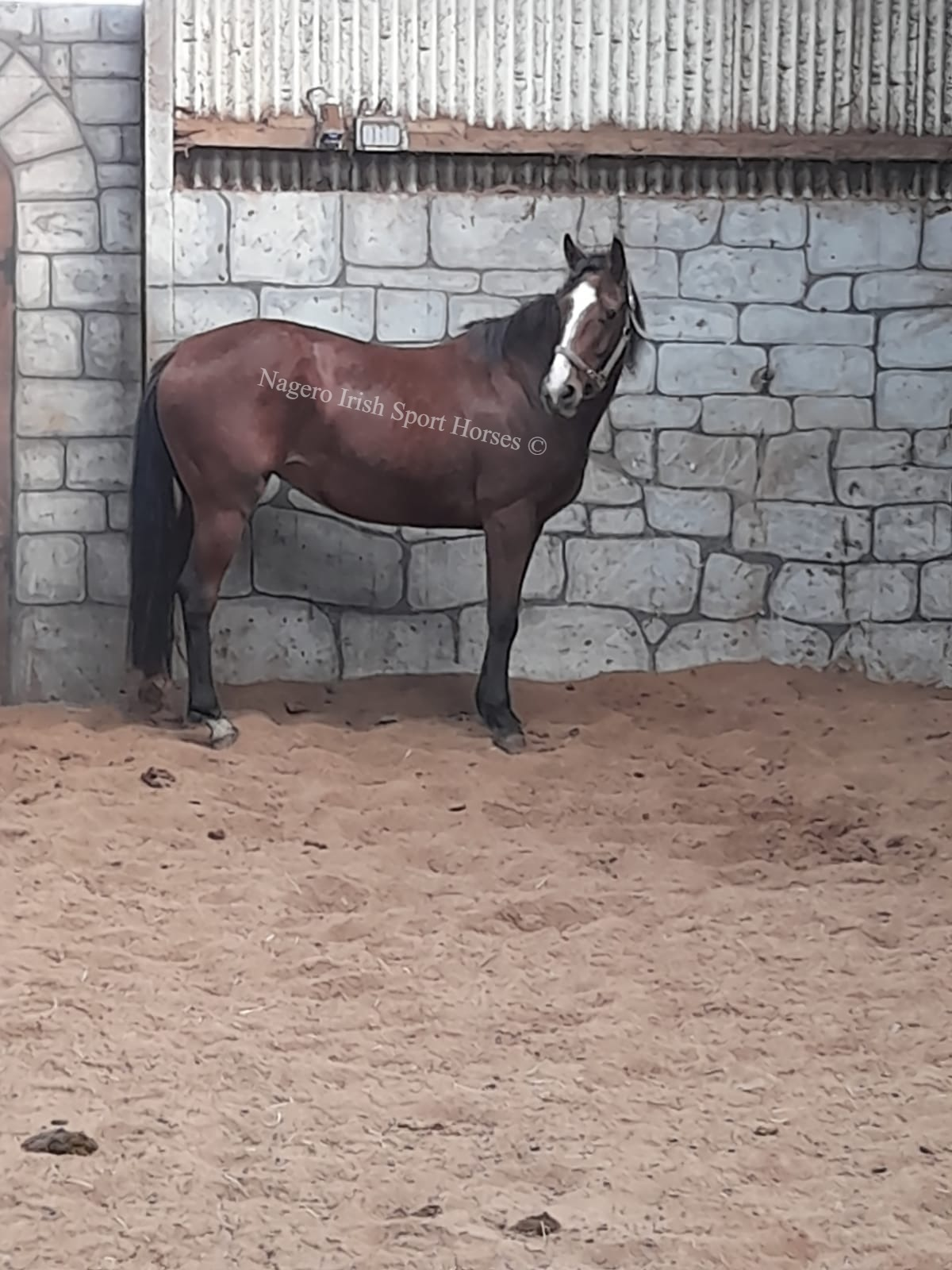 15.2hh 5 year old Mare 2