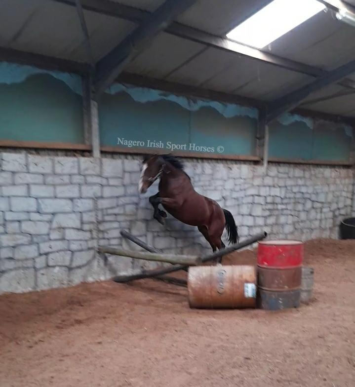 15.2hh 5 year old Mare 4