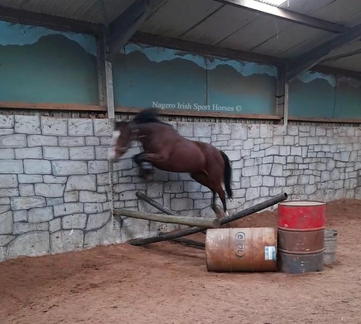 15.2hh 5 year old Mare 5