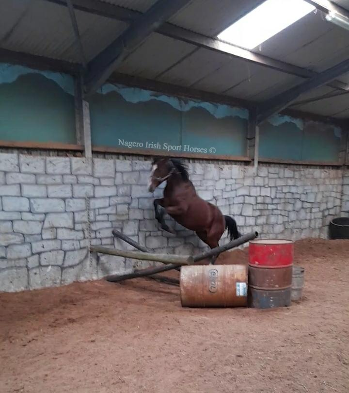 15.2hh 5 year old Mare 6