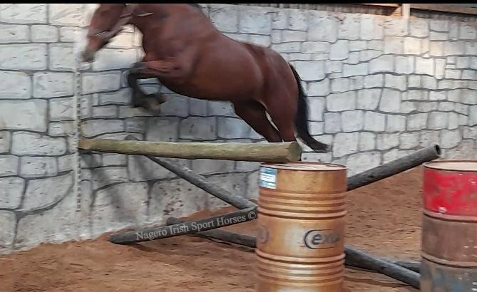 15.2hh 5 year old Mare