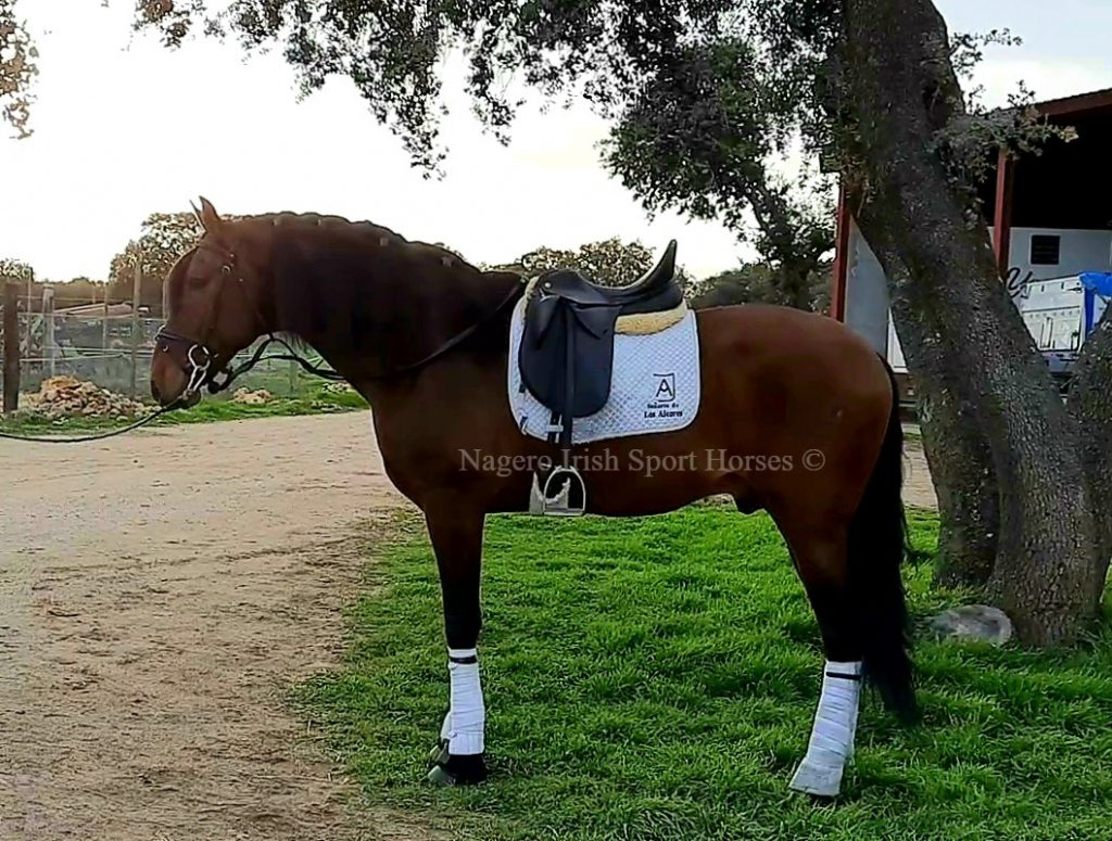 Gorgeous 17hh 6 year old Dressage