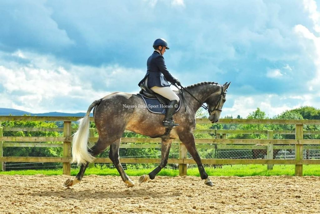 Superb 17hh 6 year old Ish