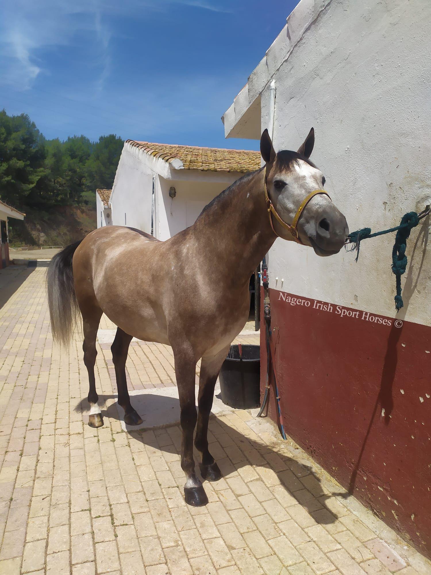 Beautiful 15hh 6 years Spanish 2