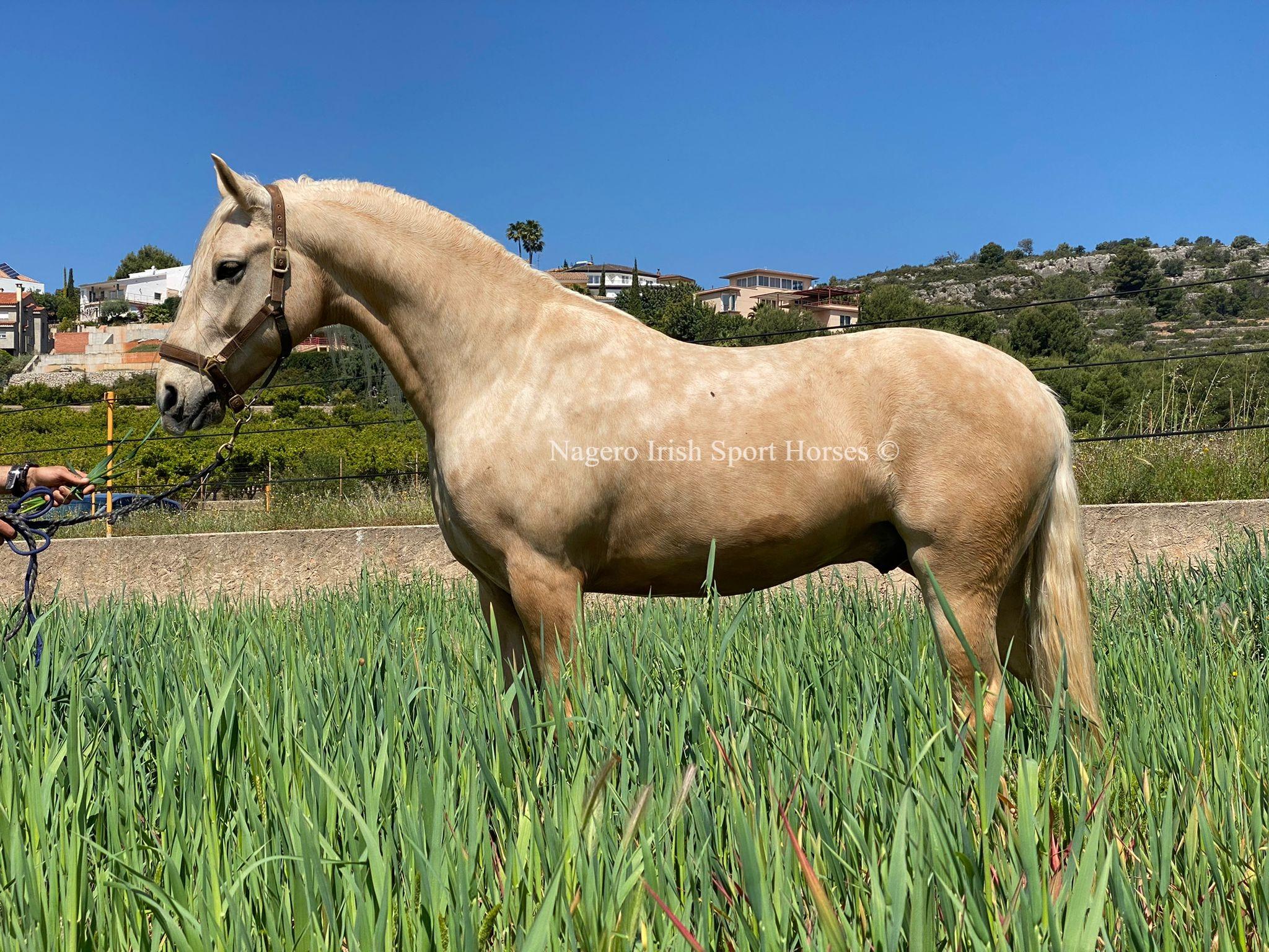 Beautiful Baroque horse 2
