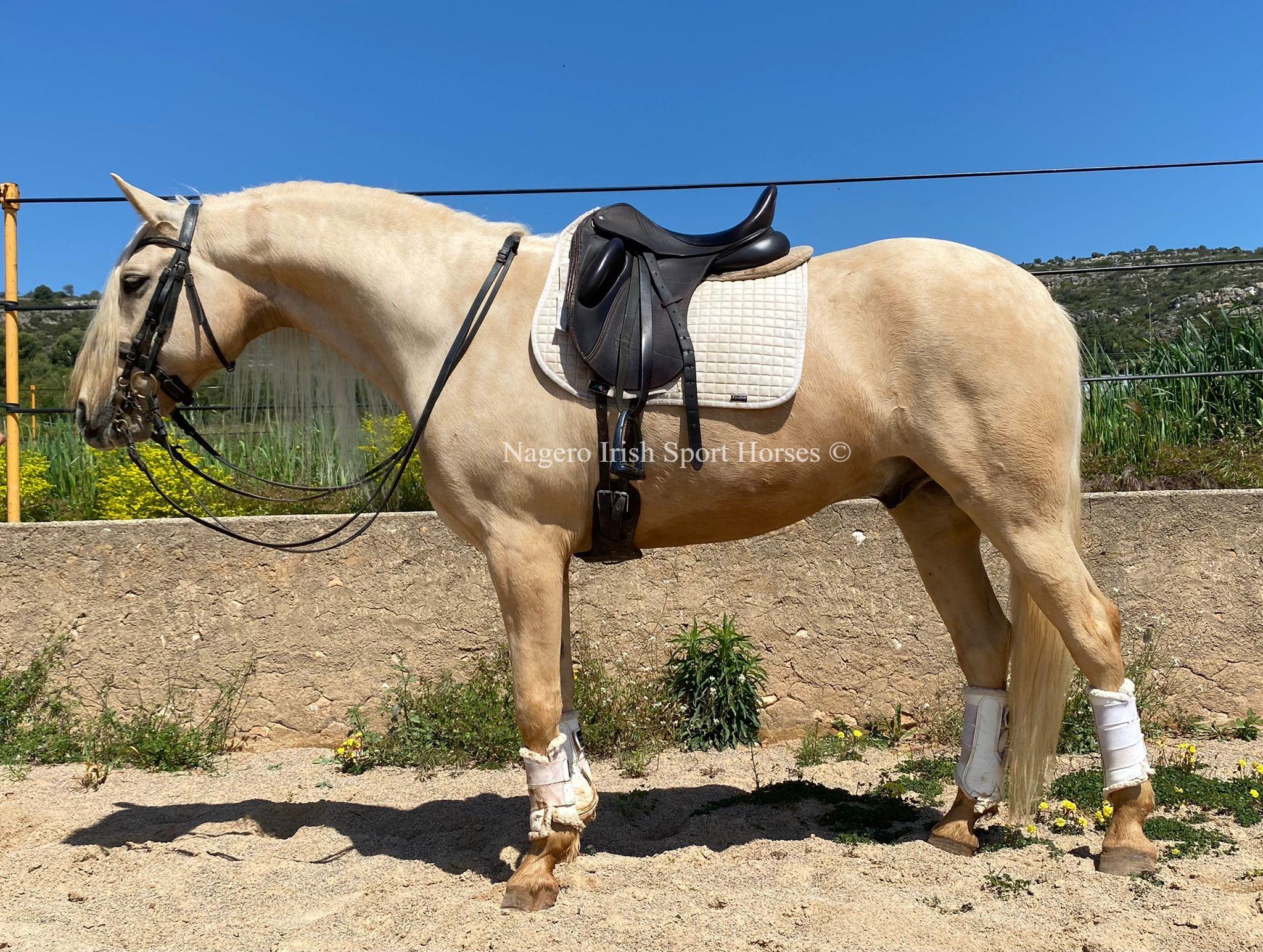 Beautiful Baroque horse 4