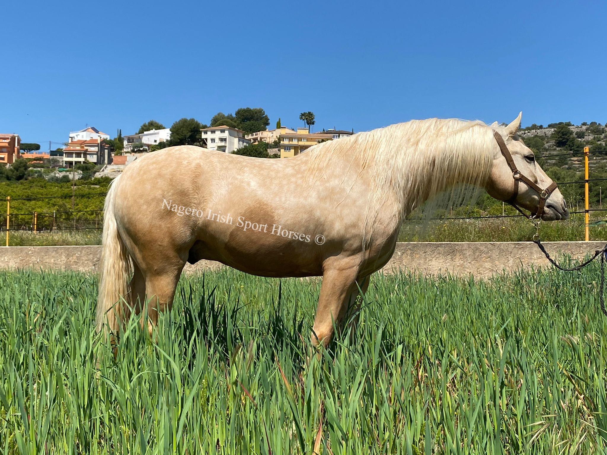 Beautiful Baroque horse 6