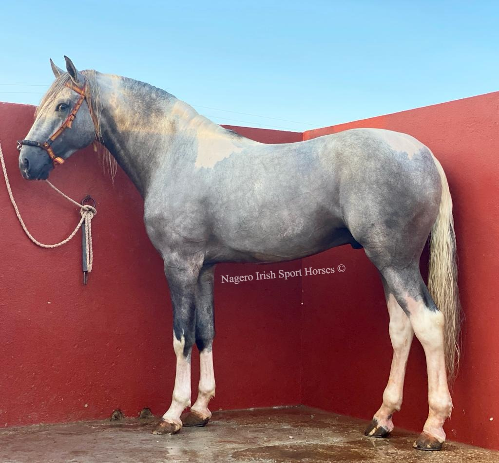 Stunning 16.3hh 4 year old