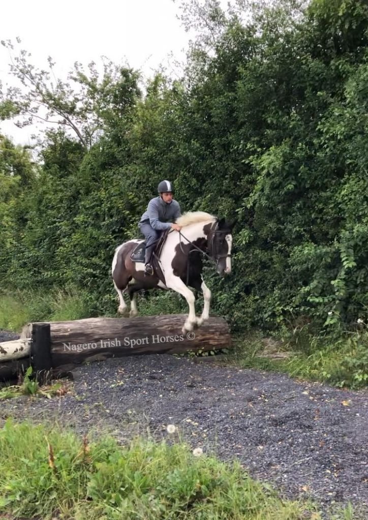 Fabulous 8 year old 16.2hh Mare