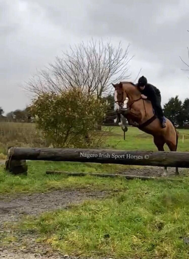 Gorgeous 5 year old Mare